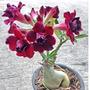 20 Sementes Rosa Do Deserto Mix De Cores Alta Germinação