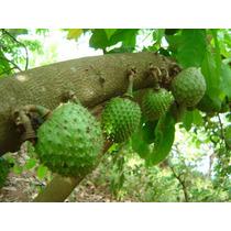 Guanabana Semillas Anonna Muricata