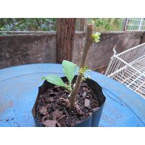 Fruta Do Sabiá (acnistus Arborescens) - 06 Estacas Lisas