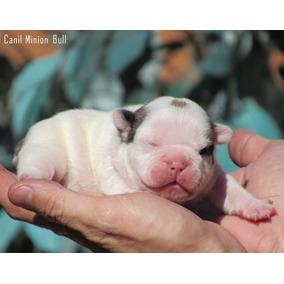 Bulldog Frances Macho Pied Com Gen Blue!!! Pedigree Cbk