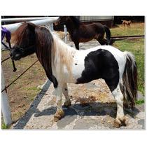 Semental Miniatura Pinto Triple Registro - Mini Pony
