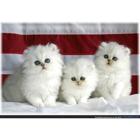 Filhotes Legítimos De Gato Persa Pronta Entrega 12x