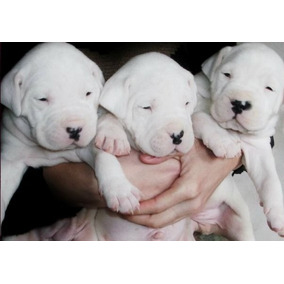 Dogo Argentino ,cachorros De Primera! Aceptamos Tarjetas