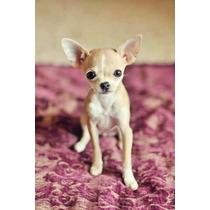 Chihuahueños De Bolsillo Cachorros Miniatura