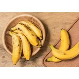 Muda Banana Maça Rizoma Veja Fotos Oferta