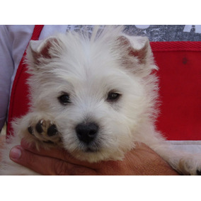 West Highland White Terrier - Westie -westy