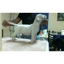 Dogo Argentino Cachorrros Maxima Calidad!