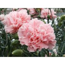 Cravo Chabaudi Gigante Rosa Sementes Flor Para Mudas