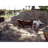 Filhotes American Pit Bull Terrier. Aptb Thompson