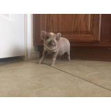 Hermosa Pareja De Mini Pigs