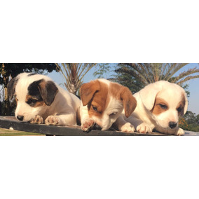 Jack Russel Terrier - Pronta Entreg. Pedigree Cbkc Microchip