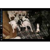Pitbulls Americano Terrier