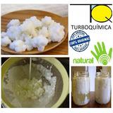 Kefir Do Leite Bactérias Iogurte Caseiro Lactobacilos Vivos