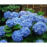 Plantas Hortensias Flor Azul Ideal Decoracion Jardin Casas