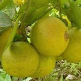 Muda Laranja Champanhe Enxertada,produz Frutos Grande