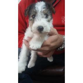 Aron Fox Terrier Wire Con Pedigree Fca (para Entregar)