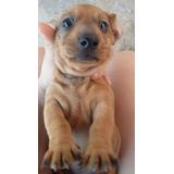 Cachorros Mini Salchichas