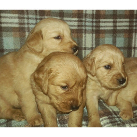 Cachorros Golden Retriever De Raza Pura