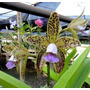 Orquídea Cattleya Guttata Coerulea `z´ X Coerulea `keko´