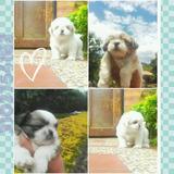 Hermosos Cachorros Shih Tzu Shitzu Tricolor Y Blancos