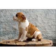 Buldogue Americano - American Bulldog - Fêmea