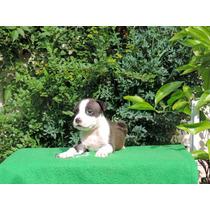 American Staffordshire Terrier Excelentes Cachorros Machos!
