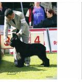 Hermosas Cachorras Pastor De Brie (briards)