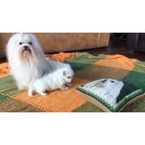 Cachorros Bichon Maltes Padres Full Pedigre A1 Mascota Casa