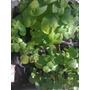 Plantas Aromáticas Laurel,albahaca.morron.incienzo.menta,
