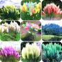 150 Sementes Capim Dos Pampas Cortadeira Bonsai Grama Jardin