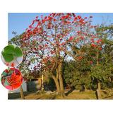 Planta Cámbulo Rojo Germinada Para Bonsái U Ornamental.