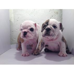 Bulldog Ingles Hermosas Cachorras Con Pedigree Inter.azul