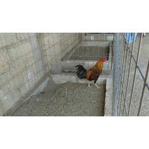Pollos De Cinco Meses