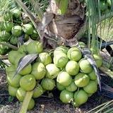 10 Mudas Coco Anão Verde Viveiro Certificado