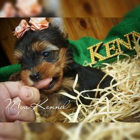 Yorkshire Terrier (micrinho)