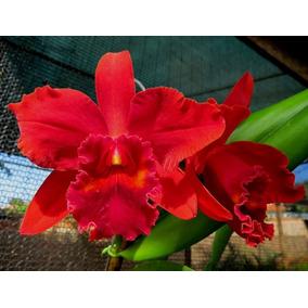 Kit Com 10 Lindos Cortes Orquídeas Cattleya + Brindes