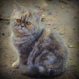 Hermoso Gato Exotico Pelo Corto La Raza Mas Dulces Cariñoso