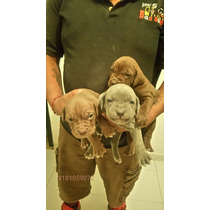 Cachorros Legítimos Mastín Napolitano