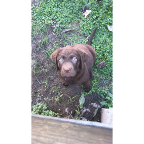 Los Mejores Cachorros Labrador Chocolates .pedigree Fca