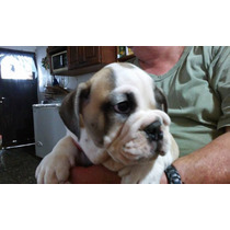 Bulldog Ingles Cachorros Con Fca !!!!!