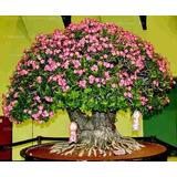 500 Sementes De Rosa Do Deserto( Adenium Obesum )mix De Cor