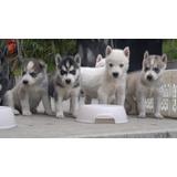 Lindos Husky Siberiano Puros Padres De Pedigree
