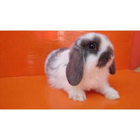 Hermosos Conejos Belier (mini Lop) 100% Raza Pura