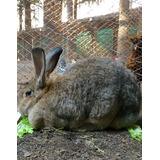 Vendo Conejo Gigante De Flandes Puro. (de Criadero)
