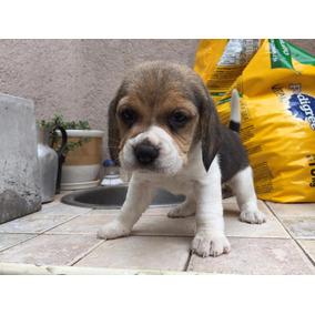 Hermosos Cachorros Beagle Tricolor - Padres A La Vista