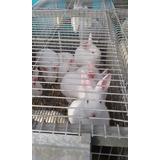 Conejos Neozelandes - Californianos - Gazapos