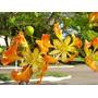 100 Sementes Flamboyant Delonix Para Mudas Bonsai Jardins