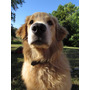 Golden Retriever Para Monta