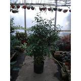 Ficus Benjamina Planta Para Interior Y Exterior. E15