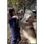 Perro Lobo Americano Cachorros (50 % Ovejero Alemán)